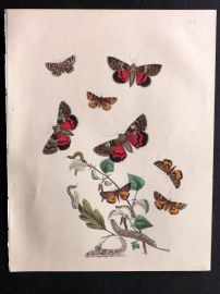 Humphreys & Westwood British Moths 1845 Hand Col Print 56